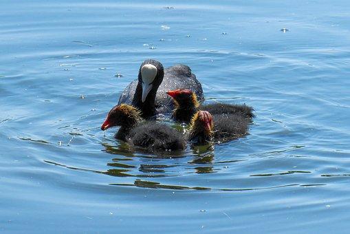 Nature, Bird, Water Bird, Chicks, Family, Coot, Lake