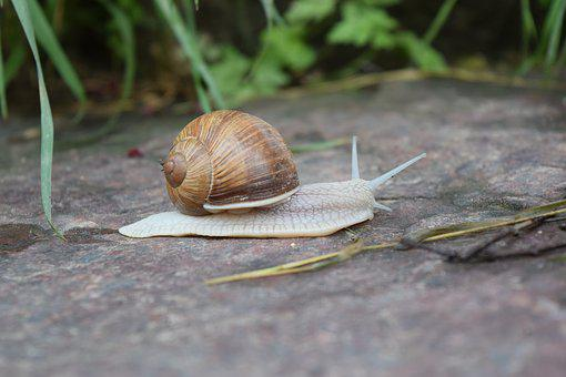 Snail, Shell, Crawl, Mollusk, Reptile, Land Snail