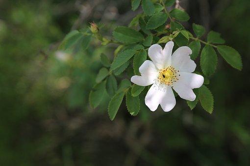 Rosehip, Flower, Nature, Leaves, Turkey