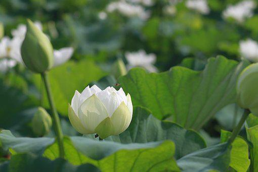 Kite, Lotus, Nature, Flowers, Water Lilies, Plants