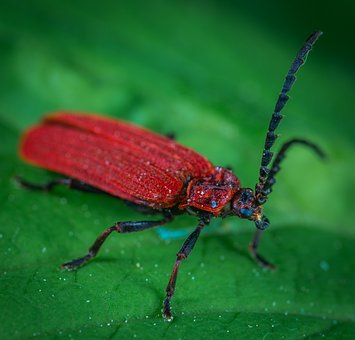 Beetle, Insect, Macro, Red, Sheet, Coleoptera