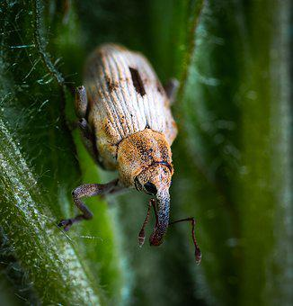 Beetle, Insect, Coleoptera, Weevil, Macro