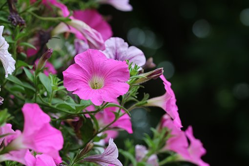 Morning Glory, Pink, Flowers, Plants, Nature, Garden