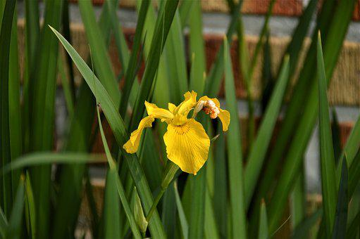 Bulbous Iris, Flowers, Plants, Nature, Yellow