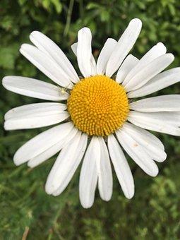 Close Up, Daisy, Yellow, White, Flower, Blossom, Nature