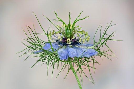 Flower, Nigella, Blue, Bauer Garden Plant