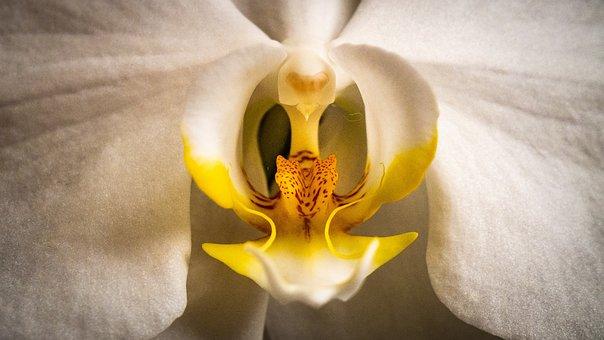 Orchid, Phalaenopsis, White, Flower, Close Up, Macro