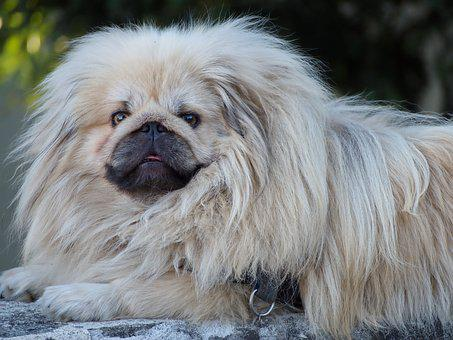 Pekingese, Dog, Chinese Dog, Fur, Snout, Look, Pet