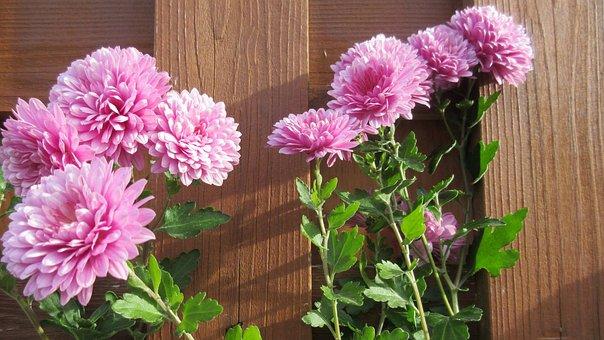 Aster, Pink, Flower, Wood, Blossom, Petal
