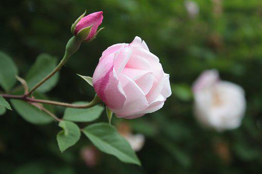 Rose, Rose Bloom, Pink Flower, Pink, Garden, Romantic