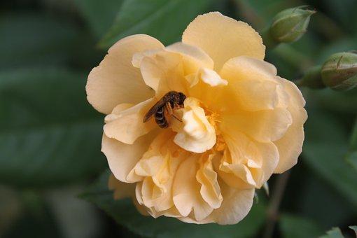Rose, Rose Bloom, Wild Bee, Bee, Pollination, Pollen