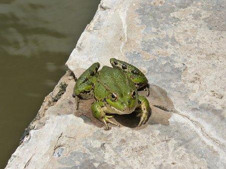 Frog, Batrachian, Raft, Pond, Croak