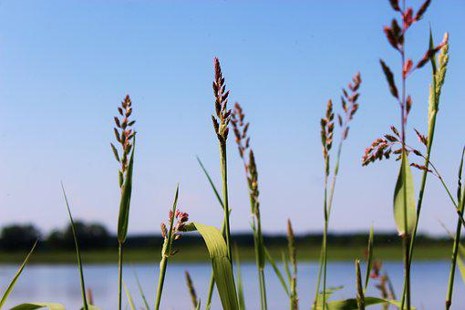 Grass, River, Pond, Lake, Aquatic Plants, Herbs, Blade