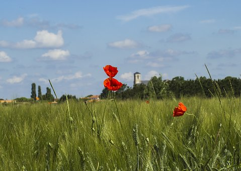Poppy, Wild Flowers, Field, Pre, Wheat, Village