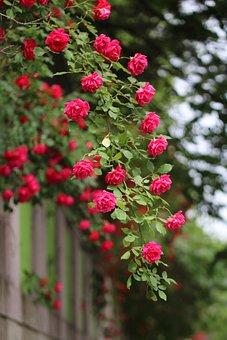 Rose, Rose Vines, Nature, Plants, Beautiful, Red Roses