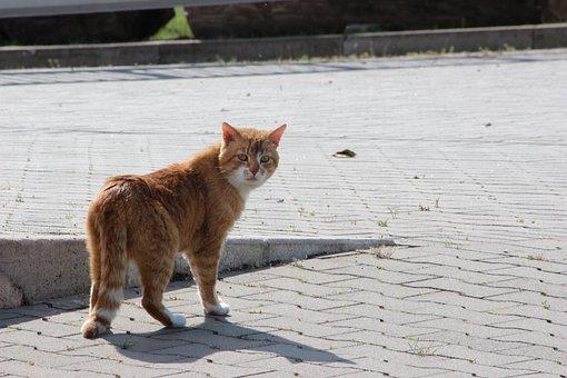 Cat, Animal World, Pet, Mieze, Red Tomcat, Domestic Cat