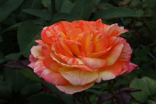 Rose, Festival, Rose Festival, Pretty Flowers