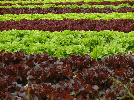 Salad, Field, Agriculture, Green, Red