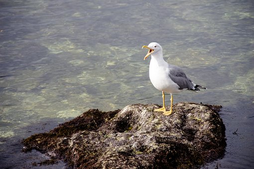 Screaming Cormorant, Bird, Sea, Boulders, Rocks, Stones