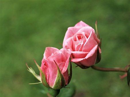 Rose, Bloom, Flower, Flora, Shrub, Bud