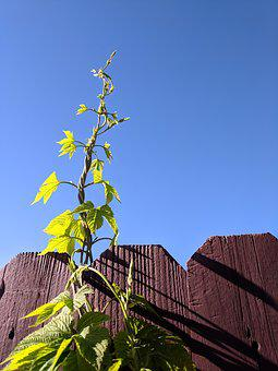Ivy, Sky, Blue, Growth, Climbing, Reaching