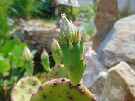 Cactus, Foliage, Green, Spike, Nature, Pungent, Plant