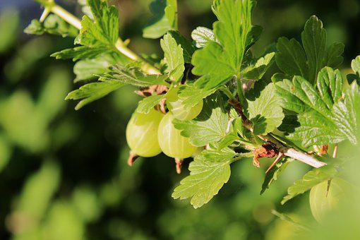 Gooseberry, Young Gooseberry, Fruit, Summer Osoce