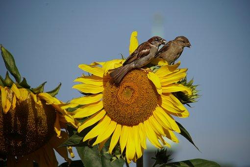 Sunflower, Birds, Garden, Eat, Sparrow, Yellow, Summer