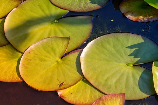 Nature, Plant, Nuphar Lutea, Leaves, Sunshine, Pond