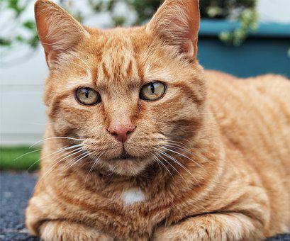 Ginger, Cat, Pet, Tabby, Animal
