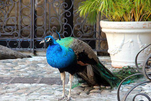 Peacock, Tail, Bird, Not Man, Nature, Feathered Race