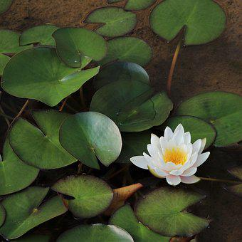 Water Lilies, Lotus, Underwater, Flowers, Plants, Nail