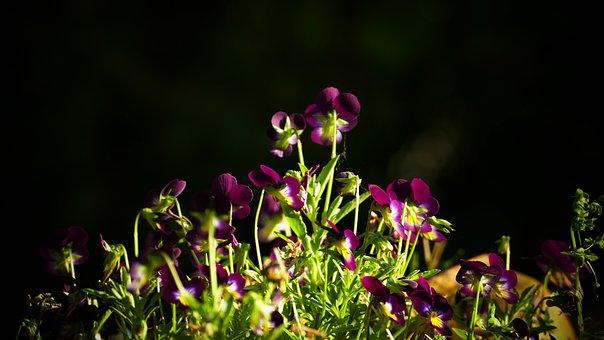 Flowers, Violin, Bosviooltje, Flower, Purple, Bloom