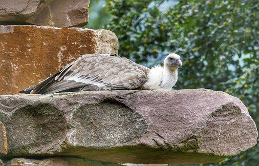 Vulture, Bird, Scavengers, Raptor, Animal, Falconry