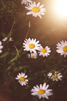 Daisies, Flowers, White, White Flowers, Meadow Daisies