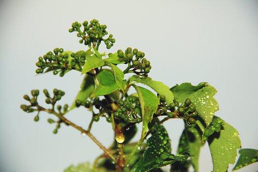 Wine Partner, Wet, Green, Leaves, Spring, Wine Blossom