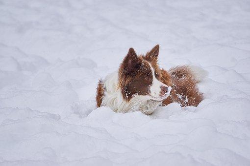 Border Collie, Winter, British Sheepdog, Dog, Wintry