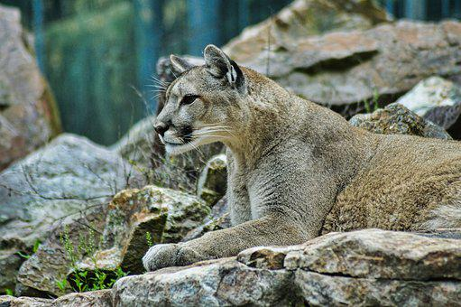 Lion, Puma, Wildlife, Animal, Nature, Cougar, Cat