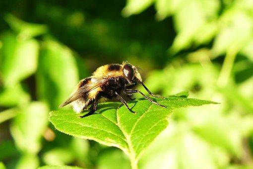 Animals, Invertebrates, Insect, Muchówki, Nature