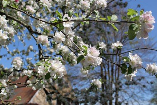 Apple Tree, Apple Blossoms, Apple Tree Flowers, Spring