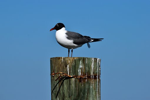 Laughing Gull, Bird, Wildlife, Gull, Nature, Avian