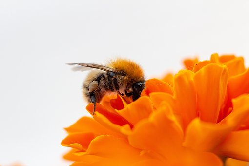 Wild Bee, Wild Bees, Nature, Insect, Bee, Close, Animal