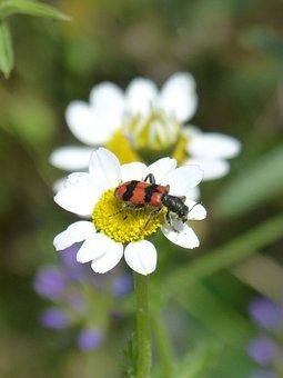 Trichodes Apiarius, Coleoptera, Beetle