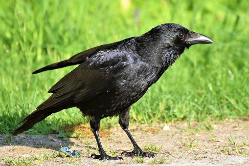 Raven, Raven Bird, Crow, Bird, Bill, Carrion Crow