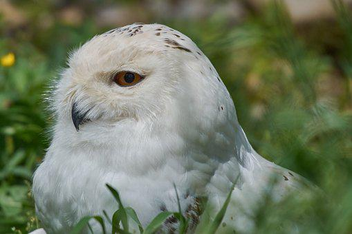 Snowy Owl, White, Breed, Owl, Feather, Bird, Raptor