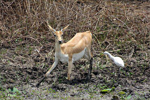 Blackbuck, Antilope Cervicapra, Indian Antelope, Wild