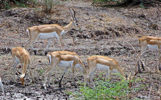 Blackbuck, Antilope Cervicapra, Indian Antelope, Wild