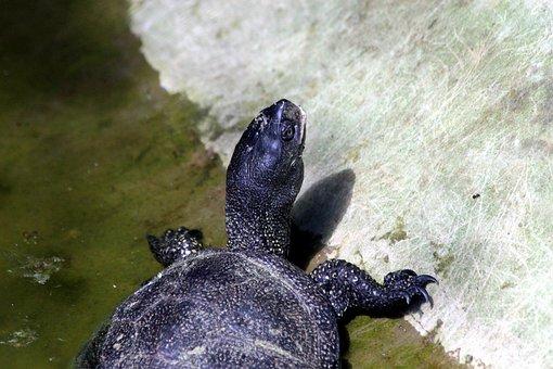 Tortoise, Bog Turtle, Animal, Reptile, Krupnyj Plan
