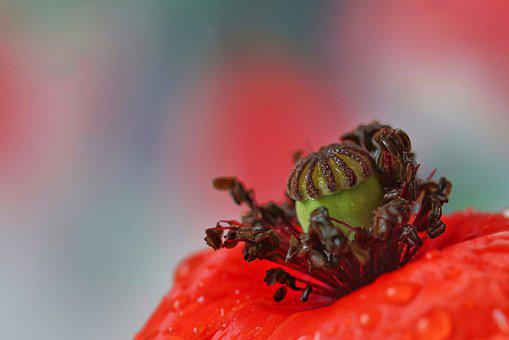 Poppy, Macro Photography, Macro, Close, Bright, Flowers
