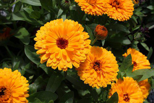 Calendula, Marigold, Flower, Gardening